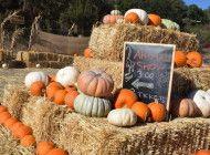 Malibu Funny Farm Opens Pumpkin Patch