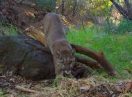 Mountain Lion Killed By Car Raises Questions About Population Viability