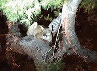 Pepperdine Administration Takes Action to Prevent Mountain Lion Activity Amid New Sightings and Deer Attack