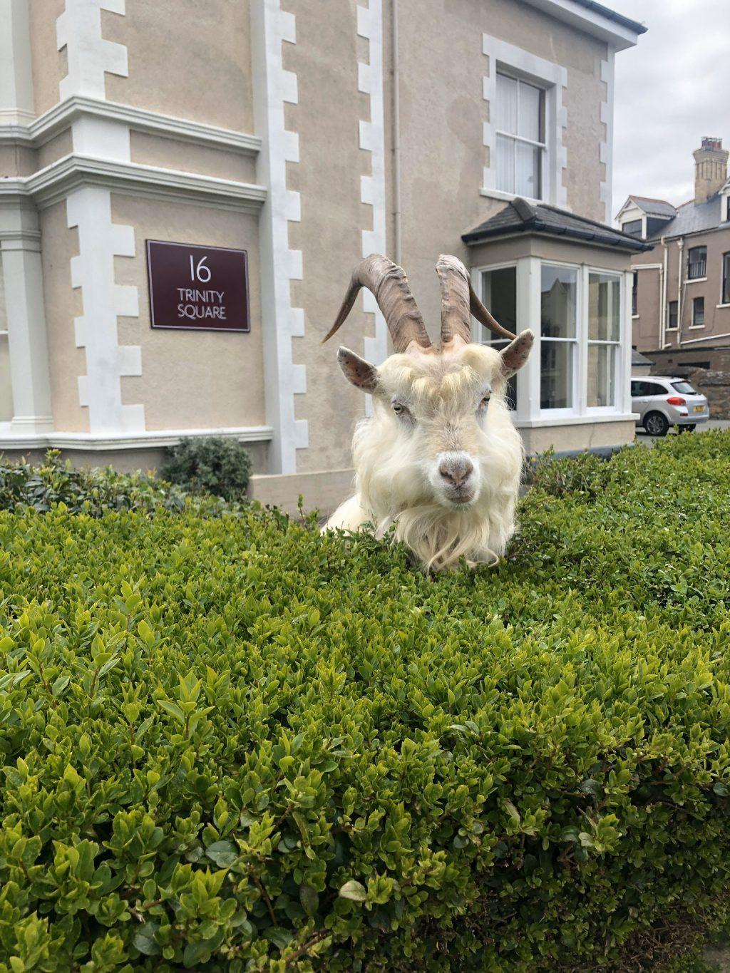 "A goat pops out of a hedge in northern Wales, where a herd of 122 Kashmiri goats have taken over a small town. Andrew Stuart, journalist for the Manchester Evening News and now self-proclaimed ""goat correspondent"" — per his Twitter bio — took the above photo with the caption, ""I, for one, welcome our goat overlords."" Photo courtesy of Andrew Stuart, Twitter"