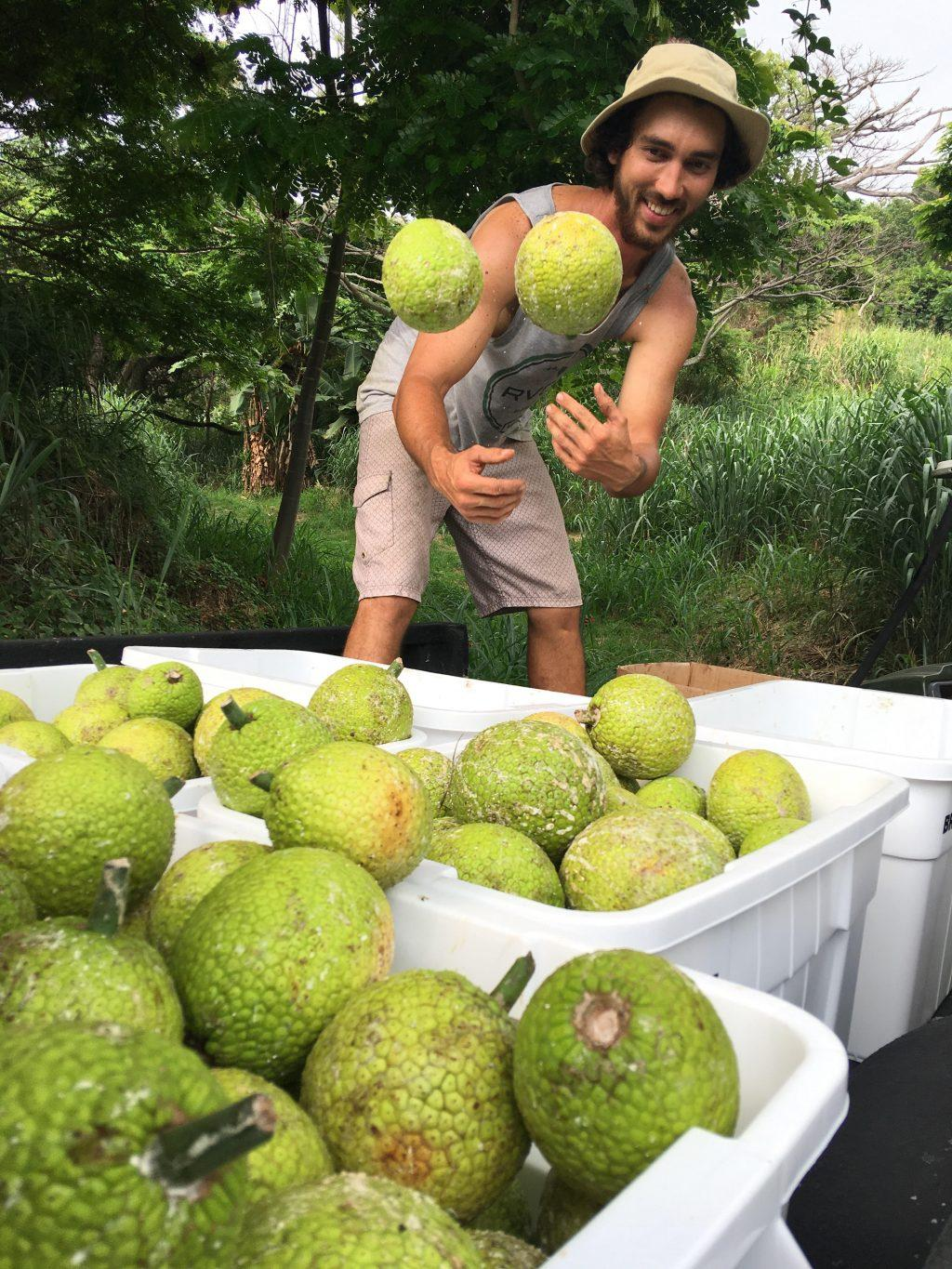 A worker at Hawaiʻi ʻUlu Producers Cooperative tosses ʻulu (Hawaiian for breadfruit) into a bin. The cooperative, one of the many organizations supported by Ulupono Initiative, works with the Hawaiʻi Food Basket to provide those in need on Hawaiʻi Island with steamed and frozen 'ulu, 'uala (Hawaiian for sweet potato) and squash during the COVID-19 pandemic. Photo courtesy of the Hawai'i 'Ulu Producers Cooperative.
